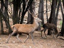 Elaphus del Cervus de los ciervos de Reed que corre en el bosque Foto de archivo