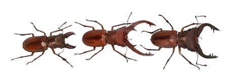 Elaphus del cyclommatus del escarabajo, aislado en blanco colección Con la trayectoria de recortes fotografía de archivo