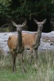 Elaphus do Cervus dos cervos vermelhos Fotografia de Stock