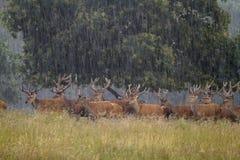 Elaphus do Cervus dos cervos vermelhos Fotografia de Stock Royalty Free
