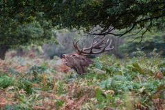 Elaphus do Cervus dos veados vermelhos durante o cio foto de stock royalty free