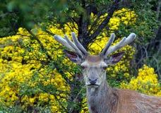 Elaphus escocês do Cervus do veado dos veados vermelhos de Willd no veludo Foto de Stock Royalty Free