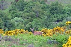 Elaphus escocês selvagem do Cervus do veado dos veados vermelhos com os chifres no vel Imagem de Stock