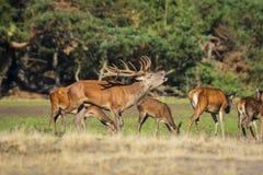 Elaphus masculino del cervus de los ciervos comunes en celo y que ruge foto de archivo libre de regalías