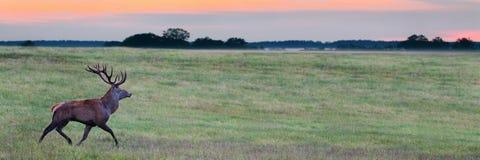 Elaphus masculino del Cervus de los ciervos comunes que corre en la puesta del sol Foto de archivo libre de regalías