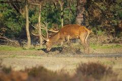 Elaphus masculino del cervus del macho de los ciervos comunes, en celo durante puesta del sol fotos de archivo