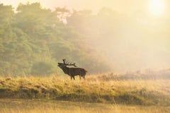 Elaphus masculino del cervus del macho de los ciervos comunes, en celo durante puesta del sol foto de archivo libre de regalías