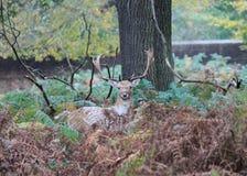 Elaphus sauvage de Cervus de l'Angleterre de cerfs communs affrichés de mâle Images libres de droits