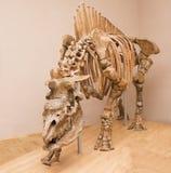 Elasmotherium caucásico Edad geológica: 1 4 millones de años Imagenes de archivo