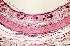 Elastic cartilage of human outer ear. Light micrograph Royalty Free Stock Images