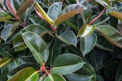 Elastica фикуса резинового дерева Стоковые Фотографии RF