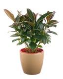 Elastica de ficus (Bush en caoutchouc indien) dans le pot de fleurs brun clair images stock
