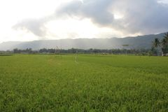 Elasticitet av ris royaltyfri bild