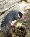 elasticitet för java sparrow Royaltyfri Bild