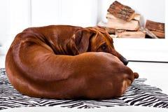 Elastyczny Rhodesian Ridgeback pies obraca wokoło pokazywać grań Obrazy Stock