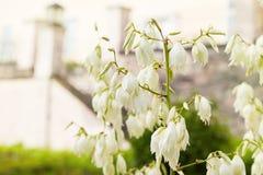 Elata floreciente de la yuca de la yuca de Soaptree en el jardín fotografía de archivo libre de regalías