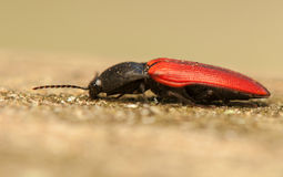 Elater sanguineus. Beetle - forest pest Stock Photos