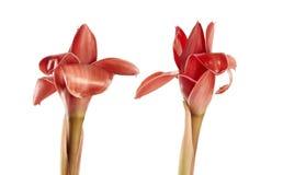 Elatior de Etlingera con el tallo, flor roja del jengibre de la antorcha aislada en el fondo blanco, con la trayectoria de recort imágenes de archivo libres de regalías