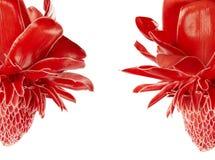 Elatior de Etlingera, flor roja del jengibre de la antorcha aislada en el fondo blanco, con la trayectoria de recortes imagenes de archivo