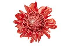 Elatior de Etlingera, flor roja del jengibre de la antorcha aislada en el fondo blanco, con la trayectoria de recortes imágenes de archivo libres de regalías