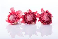 Elatior di Etlingera, il fiore dello zenzero o torcia Ginger Bud fotografie stock libere da diritti