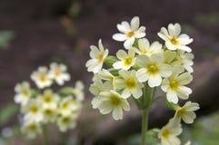 Elatior di veris della primula in fioritura Fotografia Stock Libera da Diritti