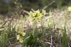 Elatior di veris della primula in fioritura Fotografie Stock Libere da Diritti