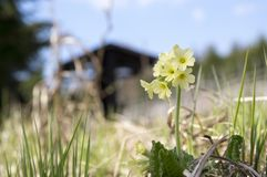 Elatior di veris della primula in fioritura Immagini Stock