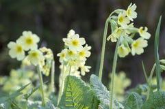 Elatior dos veris da prímula na flor Fotos de Stock Royalty Free