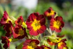 Elatior Primula стоковые изображения