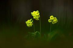Elatior Primula, oxlip или истинное oxlip, цветок весны yelow с темным лесом на предпосылке, среде обитания природы, чехии Стоковые Фотографии RF