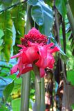 Elatior rouge tropical d'Etlingera de fleur de gingembre de torche, parc de forêt tropicale d'Umauma, grande île, Hawaï images libres de droits