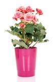 Elatior van de begonia Royalty-vrije Stock Afbeelding