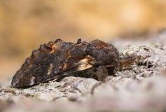 Żelazny wybitny ćma na barkentynie (Notodonta dromedarius) Obrazy Stock