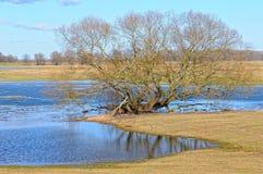 Elbe River ängar i vår Willow Trees arkivbild