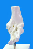 Elbow. Anatomy model from human elbow on blue background Stock Images