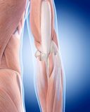The elbow anatomy Stock Photo