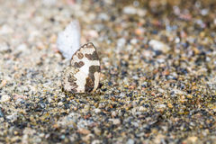 Elbowed Pierrot butterfly Royalty Free Stock Images