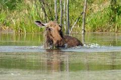 Elch geht in den Teich Stockfotos
