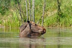 Elch geht in den Teich Stockfoto