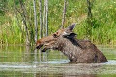 Elch geht in den Teich Stockbild