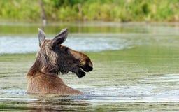 Elch geht in den Teich Lizenzfreie Stockfotografie