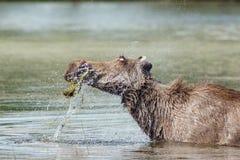 Elch geht in den Teich Stockfotografie