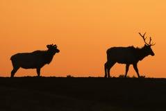 Elch-Sonnenuntergang-Schattenbilder Stockfotos