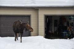 Elch sucht nach ihrem Kalb in einer Stadthausgarage, während sie um die Stadt von Jackson, Wyoming während des Vorfrühlings sich  Lizenzfreie Stockbilder