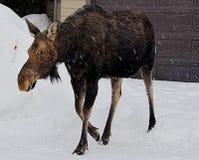 Elch sucht nach ihrem Kalb, während sie um die Stadt von Jackson, Wyoming während des Vorfrühlings sich schlängelt Lizenzfreies Stockfoto