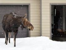 Elch wandert in die Stadt von Jackson, Wyoming während des Vorfrühlings Stockfotos