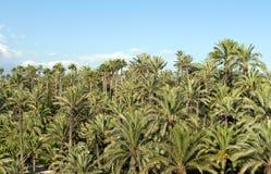 elche森林掌上型计算机西班牙结构树 免版税库存图片