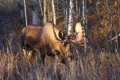 Elche Alaska-Bull stockfoto