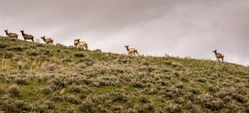Elche auf dem Berg Lizenzfreie Stockbilder